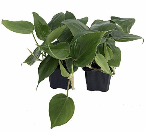 Heart Leaf Philodendron cordatum – 2 Plants – World's Easiest Houseplant-3″ Pots