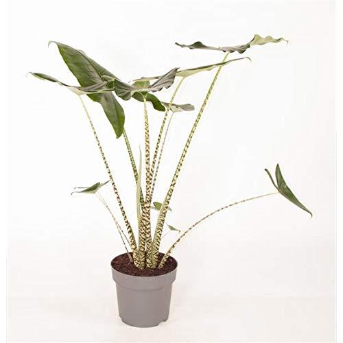 Alocasia zebrina 70-80 cm - Pfeilblatt - Elefantenohr - Tiger-Pfeilblatt