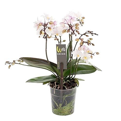 "Phalaenopsis multiflora\""Willd White Pink\"" | Schmetterlingsorchidee | Weiß-rosa Blüte | Höhe 45-60 cm | Topf-Ø 12 cm"