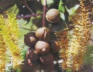 HAWAIIANER Macadamia-Nüsse ~ GROW Nußbaum aus Samen