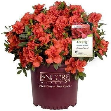 1 Gallon - Encore Azalea Autumn Embers - Multi-Season Red Blooming Evergreen Shrub