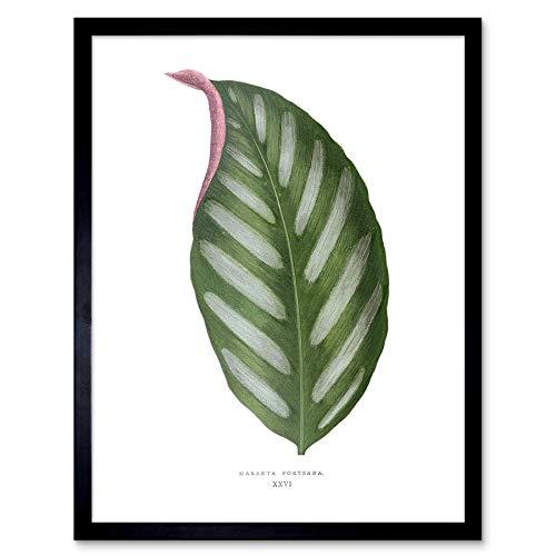 Wee Blauwe Coo Blad Maranta Porteana Art Print Ingelijste Poster Muurdecoratie 12X16 Inch