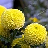 Green Seeds Co. 2 Bulbos de Dalia Amarilla Hermosas Dalia de Perenne Perenne Bulbos de Flores Bonsai Plant DIY Home Garden: 2