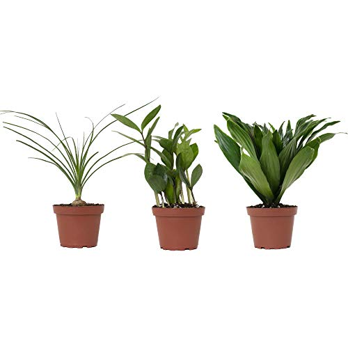Shop Succulents | Variety Collection | Hand Selected, Air Purifying Mixed Bundle of Live Indoor/Outdoor House Plant in...