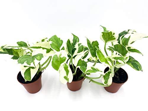 Efeutute   Zimmerpflanze   Epipremnum aureum N\'Joy   Luftreinigend   hängend und rankend   Panschierte Blätter   Topf ⌀6 cm (3, ohne Topf)