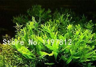 Go Garden 100 piezas/bolsa 22kinds Java Fish Tank Fern Bonsai acuático +