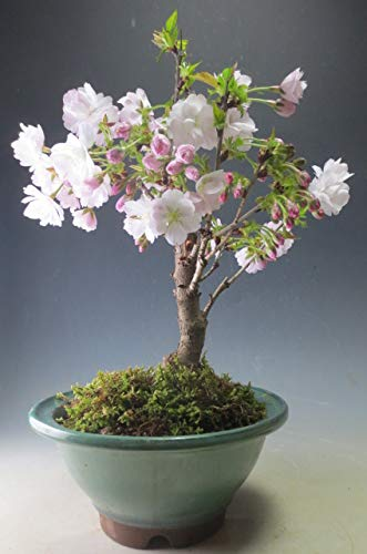 【バーゲン・セール】盆栽 桜 八重桜(中)の鉢植え 開花の盛りは終わっております。