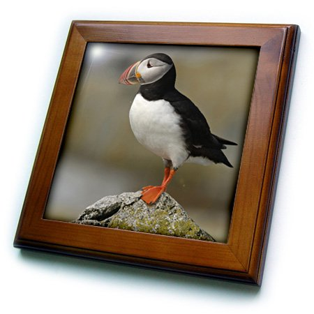 3drose FT 90746 1 Atlantic papegaai duiker, vogels, machias afdichting ISL, me-us20 krs0031-keith en Rebecca snel-geframed tegels, 8 van 20,3 cm