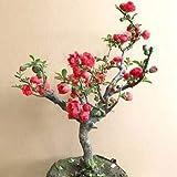 20Pcs Begonia Flower Seeds Rare Bonsai Japanese Crabapple Tree Seed