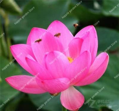 HONIC 5 Stück Japan Schüssel Blume Exotische Wasserlilie Wasser hydroponische Pflanzen, seltene Blume Bonsai-Anlage für Hausgarten-DIY planta: 19