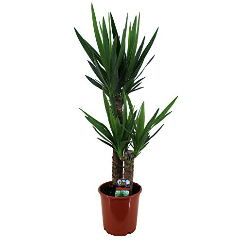 Yucca elephantipes   Palmlilie   2 Stämme   Höhe 80-85cm   Topf-Ø 17cm