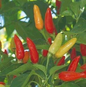 HONIC Samen-Paket: Pfeffer Hot Tabasco Groß Erbstück Gemüse durch Samen Kingdom Bulk 1200 Seeds