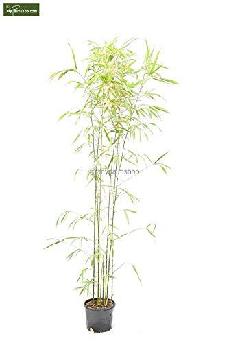 Groene Tempelbamboe - Hegbamboe - Semiarundinaria Fastuosa Viridis - 200+cm in 10 liter pot.