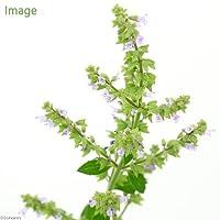 (ビオトープ)水辺植物 ミゾコウジュ(1ポット) 湿生植物 (休眠株)
