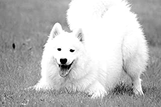 Samoyed Dog-Animal - Art Print On Canvas Rolled Wall Poster Print - Black and White 30