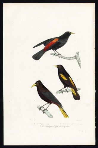 Pájaro antiguo ThePrintsCollector cruzerlite-cacique pájaros-Buffon-Travies-1837