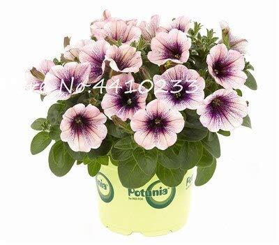 Generic Fresh 100 Pcs Star Petunia Blumensamen zum Pflanzen gemischt 1