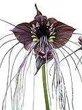 "100 Samen Schwarze Fledermausblume""Black-Bat-Flower"" - Tacca chantrieri >Teufelsblume<"