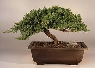 Bonsai Boy's Juniper Windswept - Extra Large juniper procumbens 'nana'