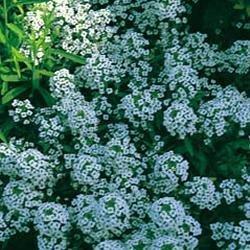 Fleur Kings Seeds Flux des paquets d'Alysson Tapis de neige