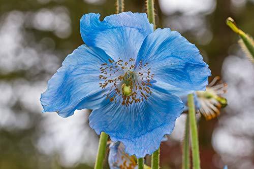 Meconopsis betonicifolia Blauer...
