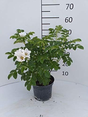 Späth Weiße Apfelrose Zierstrauch winterhart Gartenpflanze blühend 1 Pflanze Container C 3