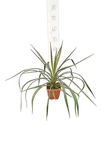 Graue Palmlilie - Yucca Aloifolia - Gesamthöhe 50-70cm - Topf 14x14cm