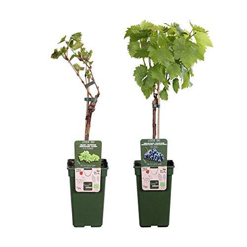 2er Set Trauben Pflanzen | Bio...