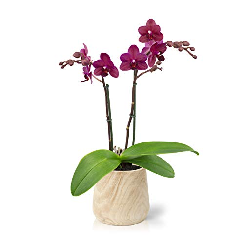 Color Orchids AMZ1101WD22PK Live Double Stem Diamond Wooden, 20'-24', Pink Blooms. Orchid Plant in...