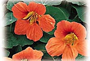 vegherb Kapuzinerkresse Tropaoleum Vesuvius Annual Seeds