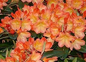 """Rhododendron Neon - Bright Yellow and Orangish Bloom with Hints of Pink - Grows Three Feet Tall (Quart Plant – Typically in a 3"""" or 4"""" Container)"""