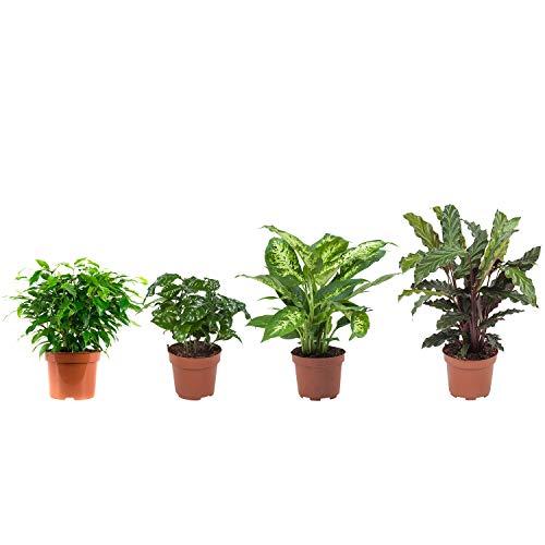 Zimmerpflanzen von Botanicly – 4 × Ficus, Coffee Plant, Dieffenbachie, Korbmarante – Höhe: 25 cm – Ficus Green Kinky, Coffea, Dieffenbachia, Calathea