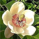vonly 20 pc/Sacchetto perenne Magnolia pianta in Vaso Indoor & Outdoor Piante e Fiori in Vaso Piantare Family Garden Decor Fai da Te: 3