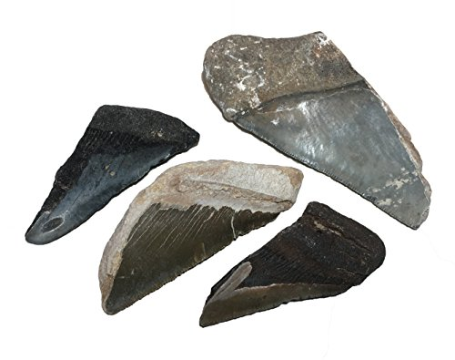 Fossil Megalodon Shark Tooth specimens (Half-Pound).Over 2 Million Years Old, These Fossils Excite Young and Old Earth Science Enthusiasts as They Literally Hold History in Their Hands.