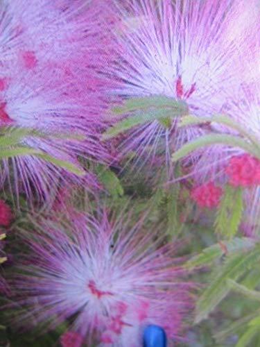 Baumschule Pflanzenvielfalt Calliandra...