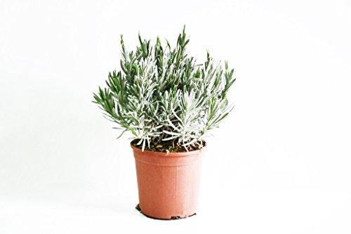 Pianta vera ornamentale profumata Pianta aromatica ornamentale LAVANDA ORNAMENTALE PROFUMATA Ø 16 cm - h 35 cm