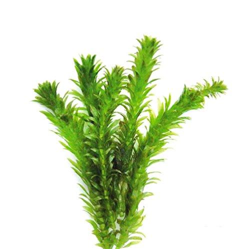 Anacharis - Elodea Densa Egeria Tropical Live Aquarium Plants Moss
