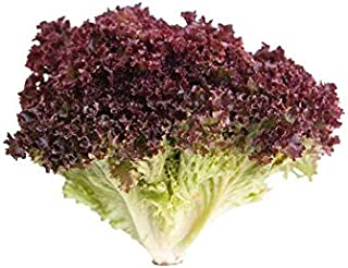 Lettuce Lolo Rosso Holland | Slightly Bitter & Nutty Flavor | Healthy & Nutritious | Sweet & Tender | Premium Quality | Cl...