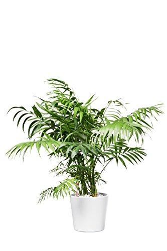EVRGREEN Bergpalme Pflegeleichte Kleine Zimmerpflanze in Hydrokultur als Geschenk-Set inkl. Keramiktopf Weiß