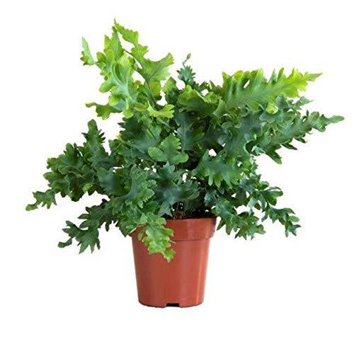 "Phlebodium aureum""Davana"" | Goldtüpfelfarn | Farn Zimmerpflanze | Höhe 25-30 cm | Topf-Ø 12 cm"