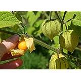フルーツHONGGUNIANG種子、30個黄キノコニアンシード、家庭の装飾無料配送J1