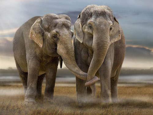 yaofale Puzzle 1000 Piezas Elefante Africano Puzzle Educational Game Juguete para aliviar estrés Desafío de Ejercicio Cerebral 50x70cm (Sin Marco)