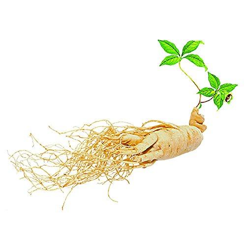 BigFamily Panax Ginseng Samen 50 Stück Asiatische Wildpflanzen Gartenbedarf Pflanzensamen Kräutersamen
