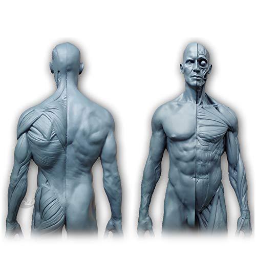 Menschliche Körper Anatomie Figur - 11,8 Zoll / 30cm Mal Menschliche Muskel-Skelett Anatomisches Modell - menschliche anatomische Muskel-Knochen-Modell - Referenz für Künstler