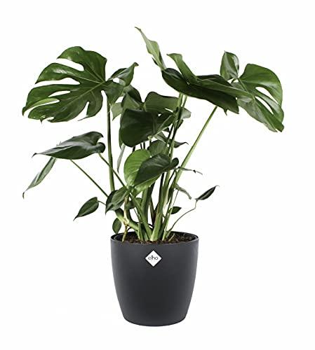 Zimmerpflanze – Fensterblatt in...