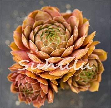 100 Pcs Amazing Sempervivum Plants Mixed Mini Garden Succulents Cactus Seeds Perennial -House Leeks Live Forever Easy To Grow 6