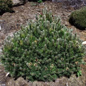 Flache Zwerg Kiefer March 25-30cm - Pinus mugo
