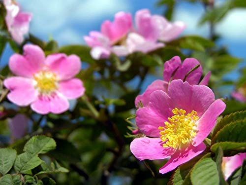 Portal Cool Rosa Canina - Heckenrose 10 Seeds - Outstanding Variety