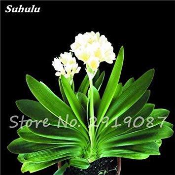 VISTARIC 2: de Canna indica seeds. Perennial énorme fleur en pot herbes graines pour rouquine maison et jardin brun plant. Lily Variété Bonsai Seed 2