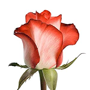 globalrose 50 fresh cut white roses with dark pink tips – fresh flowers express delivery – perfect for weddings, anniversary or any occasion. silk flower arrangements